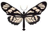 Black-white butterfly — Stock Vector