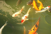 Poissons koi — Photo