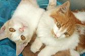 Kittens — Stock Photo
