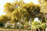 Мимозы деревья — Стоковое фото