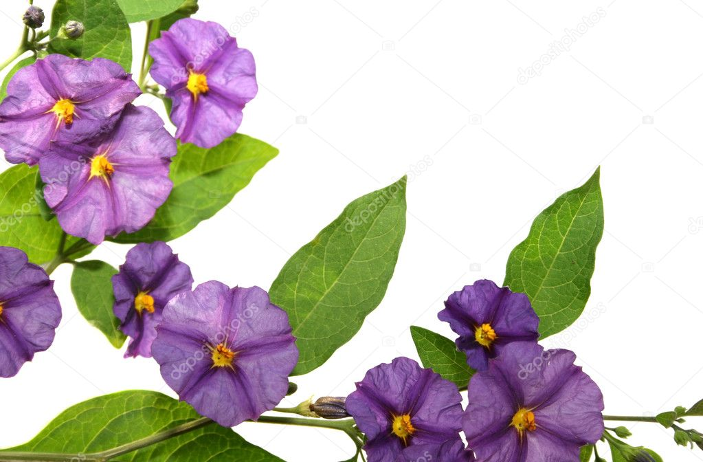 Beautiful violet tropical flowers on white background.  Stock Photo #1042489