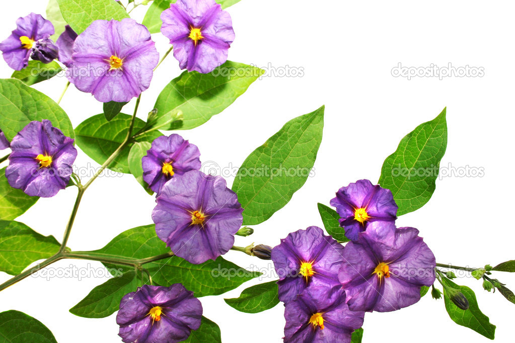 Beautiful violet tropical flowers on white background. — Stock Photo #1042500