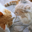 Kissing cats — Stock Photo #1277985
