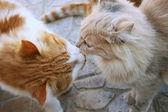 Kissing cats — Stock Photo