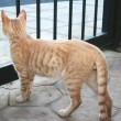 Tawny cat — Stock Photo