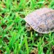 Stock Photo: Turtle