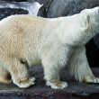Polar bear — Stockfoto #1007556