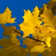 Royalty-Free Stock Photo: Maple. Golden autumn.