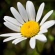 Camomile — Stock Photo #1008734