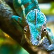Royalty-Free Stock Photo: Chameleon
