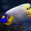 Angelfish — Stock Photo #1009160