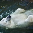 Polar bear — Stock Photo #1009301