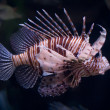 Lionfish — Stock Photo #1009305
