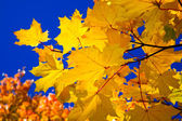 Orange maple leaves and blue sky — Stock Photo