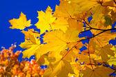 Oranje esdoorn bladeren en blauwe hemel — Stockfoto