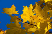Maple. Golden autumn. — Stock Photo