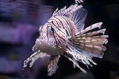 Lionfish — Stock Photo