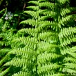 Fern — Stock Photo #1010187