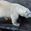 Polar bear — Stock Photo #1014931