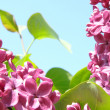 Fragrant lilac — Stock Photo #1037833
