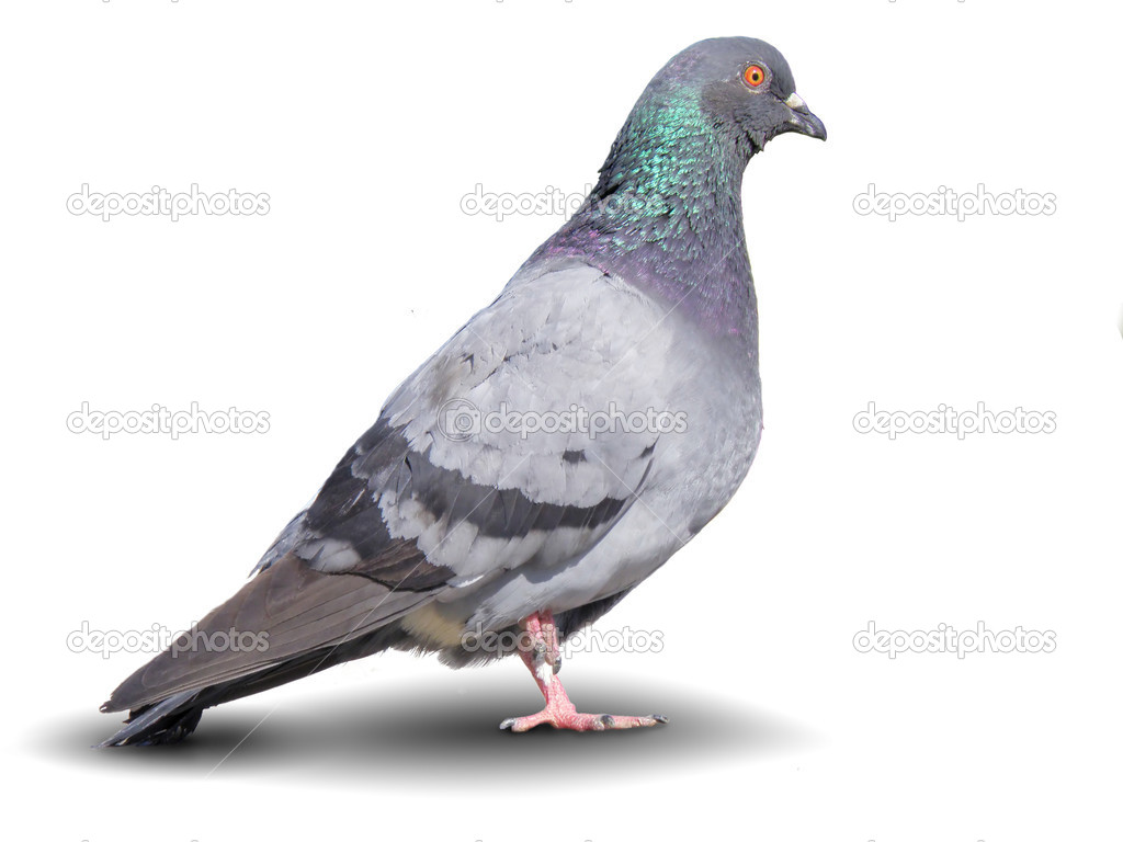 Town dove on white background close-up — Stock Photo #1039066
