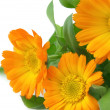 Calendula — Stock Photo #1528435
