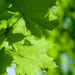 Abstract composition of maple leaves — Stock Photo