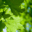 Foto Stock: Abstract composition of maple leaves