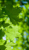 Abstract composition of maple leaves — Foto Stock