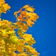 Autumn color branch of maple — Stock Photo