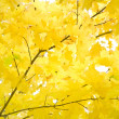 Autumn foliage of gold maple — Stock Photo