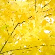 Stock Photo: Autumn foliage of gold maple