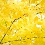 Autumn foliage of gold maple — Stock Photo