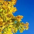Autumn maple tree on sky background — Stock Photo #1031332