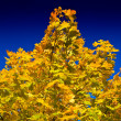Stock Photo: Autumn maple tree