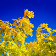 Autumn yellow foliage on sky. - Foto de Stock  