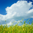 Background of wheat and sky — Stock Photo