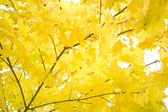 Autumn foliage of gold maple — Стоковое фото