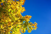 Autumn maple tree on a sky background — Stock Photo