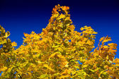 Autumn maple tree — Stock Photo