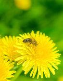 Bee and dandelion — Stock Photo