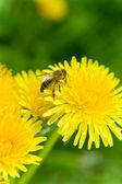 Bee on a Dandelion — Stock Photo