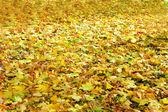 Bright fallen leaves — Stock Photo