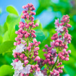 Stock Photo: Cluster of lilac