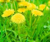 Yellow dandelions — Stock Photo