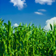 Corn and sky — Foto Stock