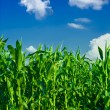 Corn and sky — Stock Photo