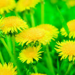 Dandelions — Stock Photo #1077359