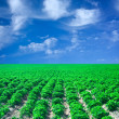 Stock Photo: Field of potato with blue sky