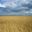 Royalty-Free Stock Photo: Field of ripe wheat and dramatic sky
